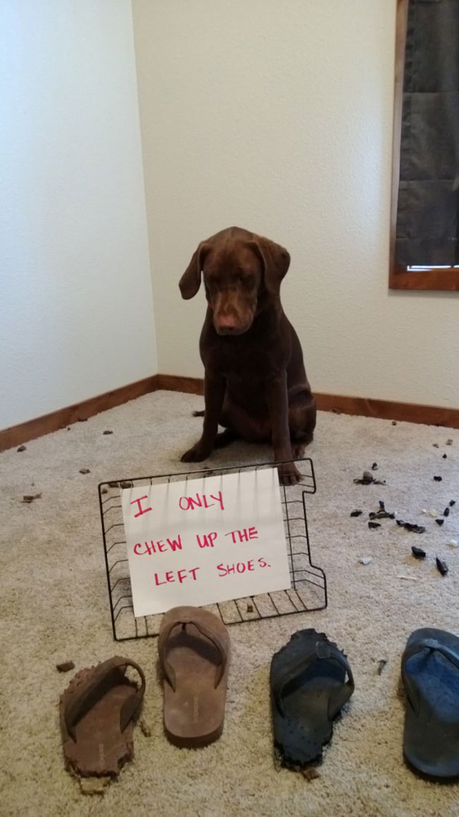 naughty-dogs-cats-confessing-crimes-11