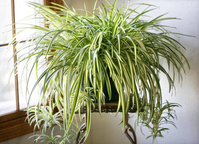 houseplants that cleans air 2