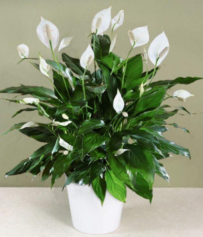 houseplants that cleans air 5
