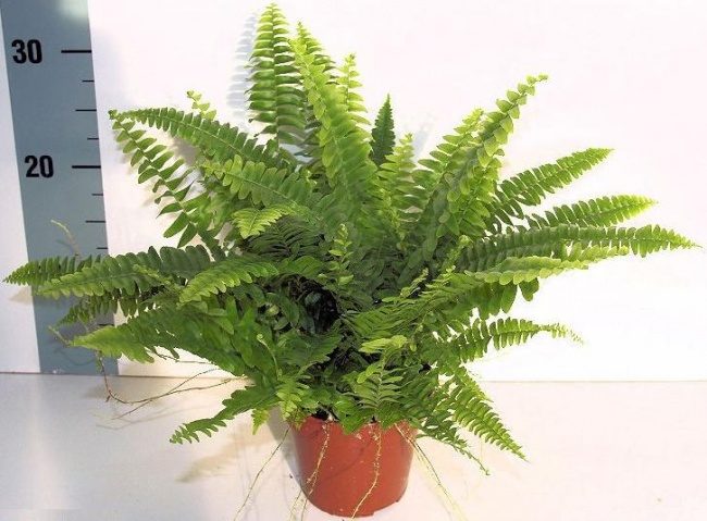 houseplants that cleans air 6