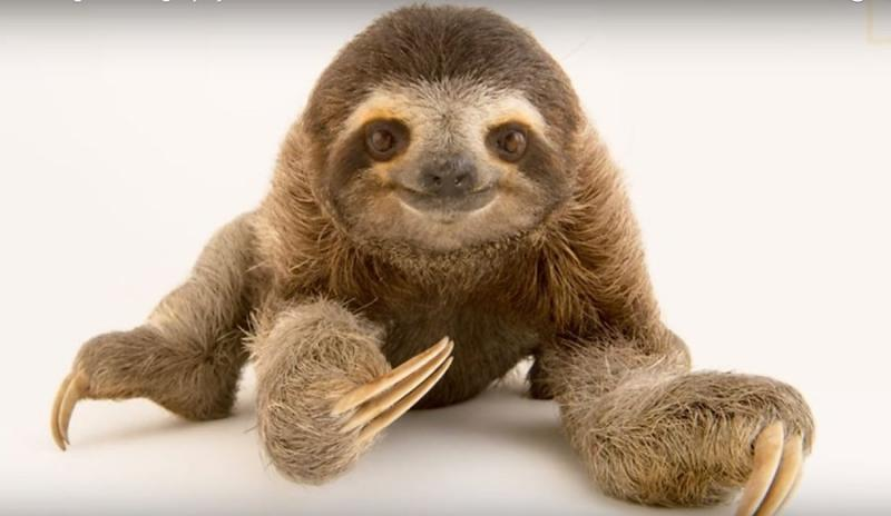 animals extinct extinction perezoso pluspng soon kukang sloth three national oso america south they common sea going toed geographic transparent