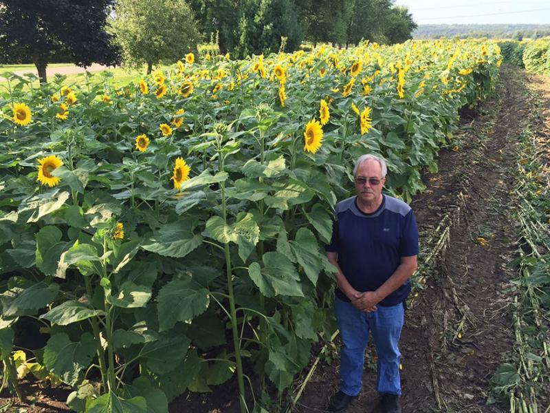 man plant sunflowers 9