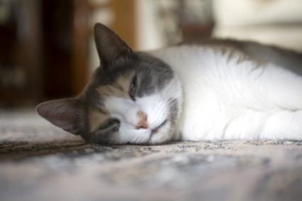 cat cancer signs 3