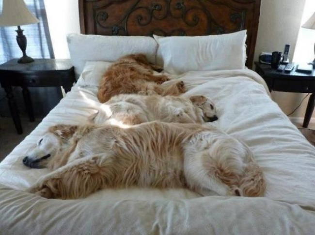 dogs stealing the beds
