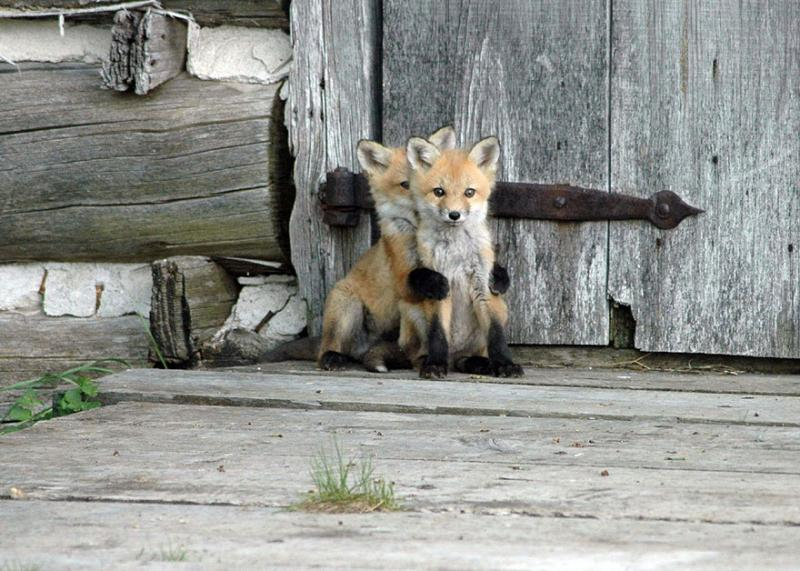 foxes are cute 1