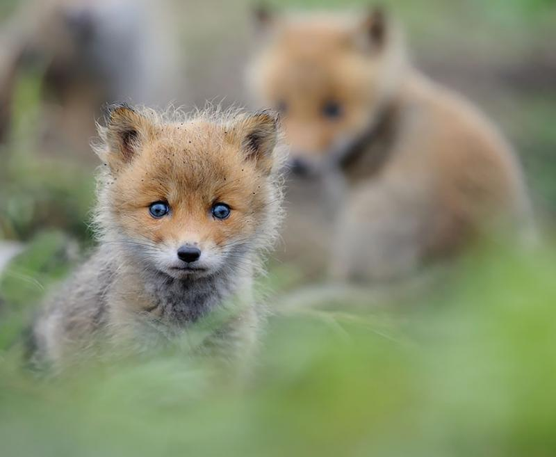 foxes are cute 12