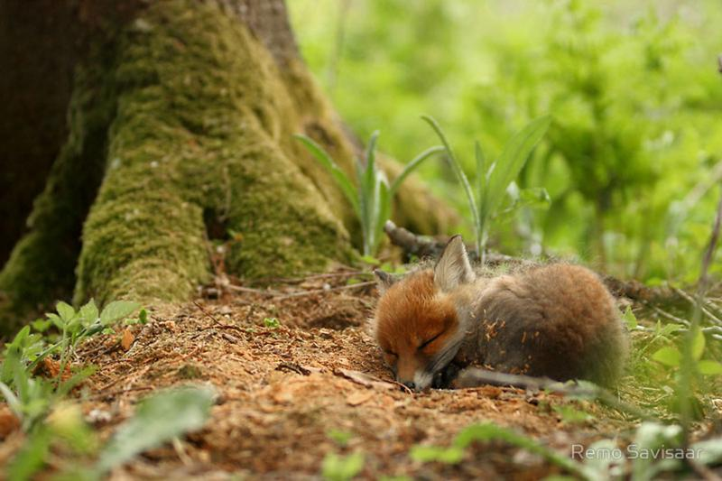 foxes are cute 2