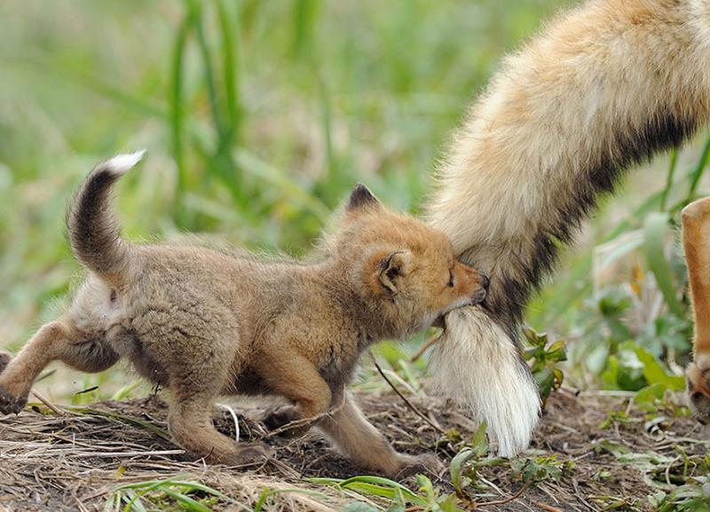 foxes are cute 3