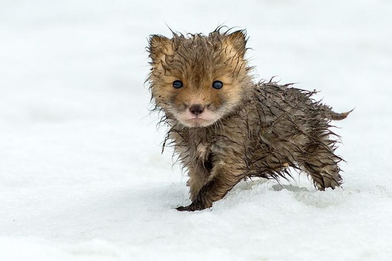 foxes are cute 4