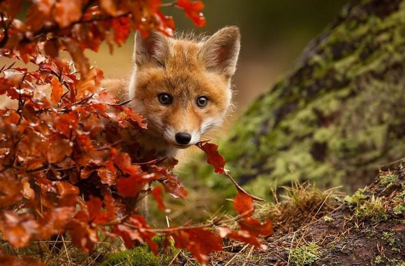 foxes are cute 5