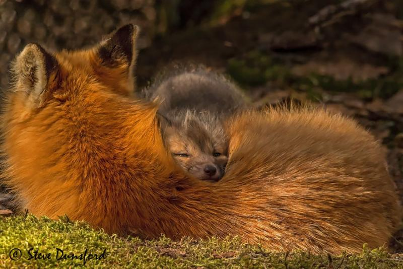 foxes are cute 7