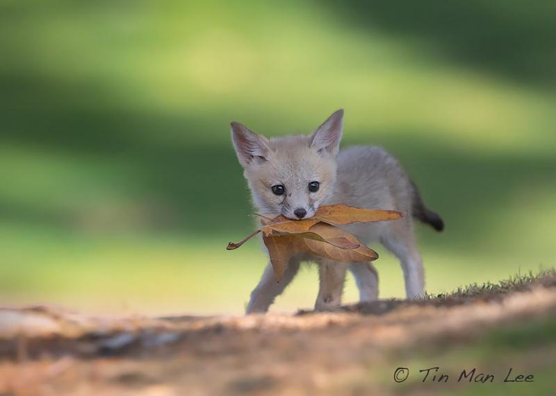 foxes are cute 8