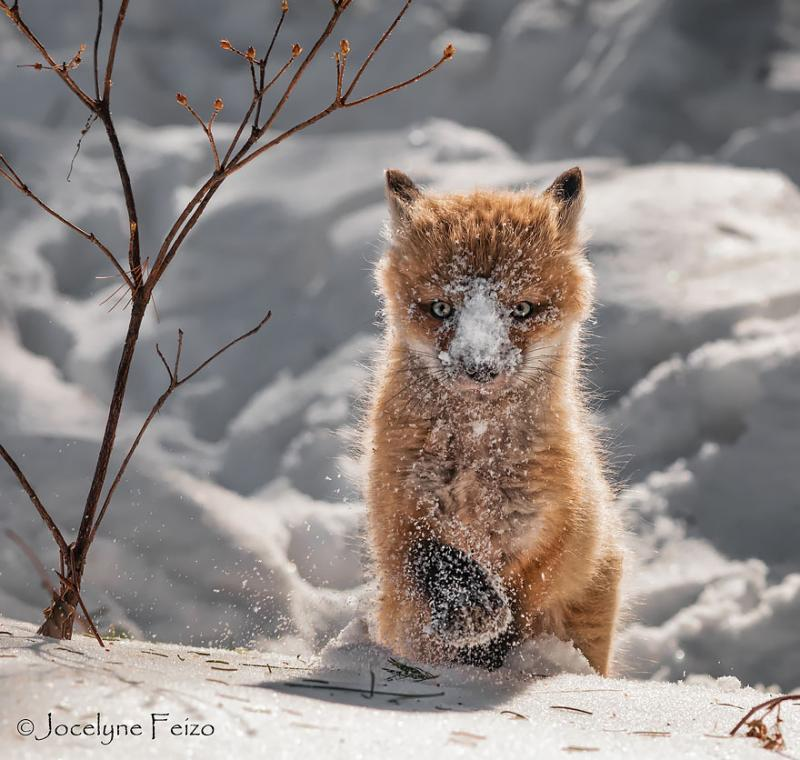 foxes are cute 9