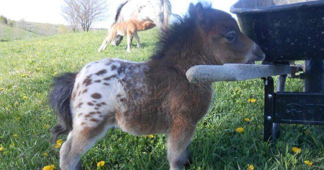 real mini-horses 1