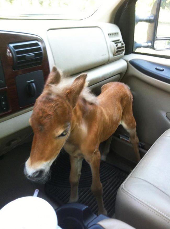 real mini-horses 11
