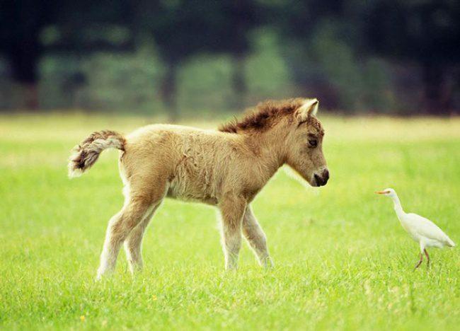 real mini-horses 14