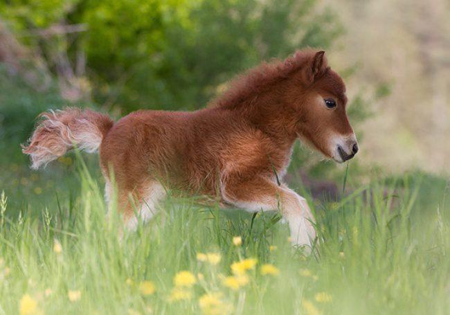 real mini-horses 4