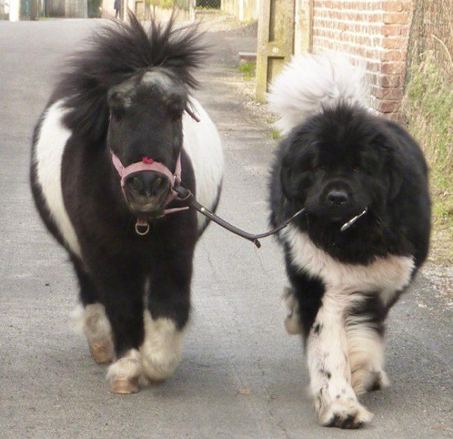 real mini-horses 5
