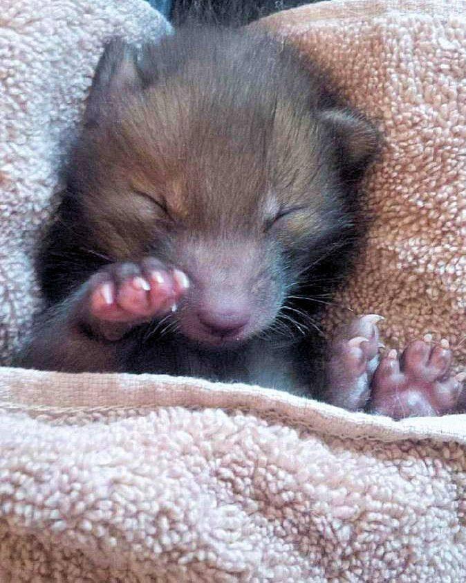 baby fox cuddles stuffed bunny