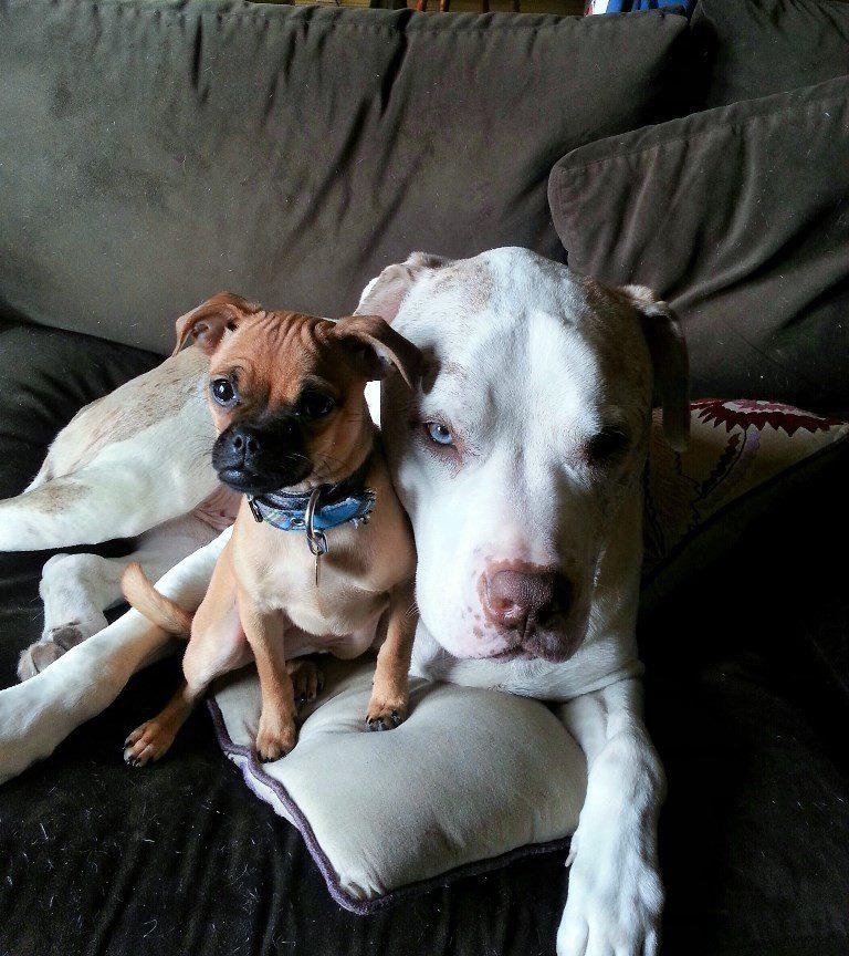 huge dog comforts shelter animals