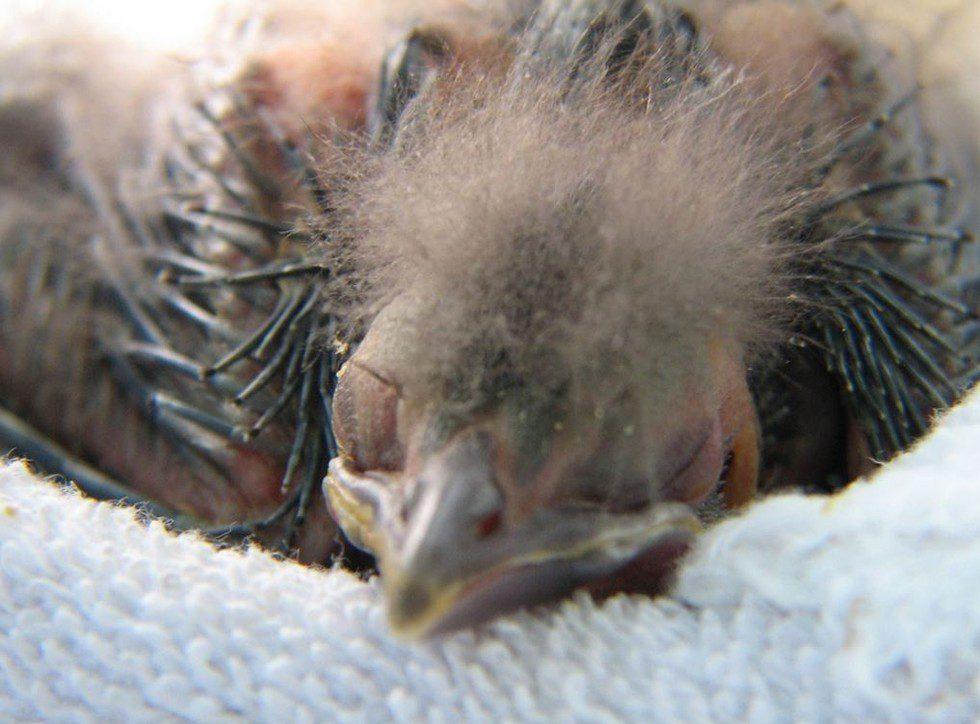 baby bird rescue