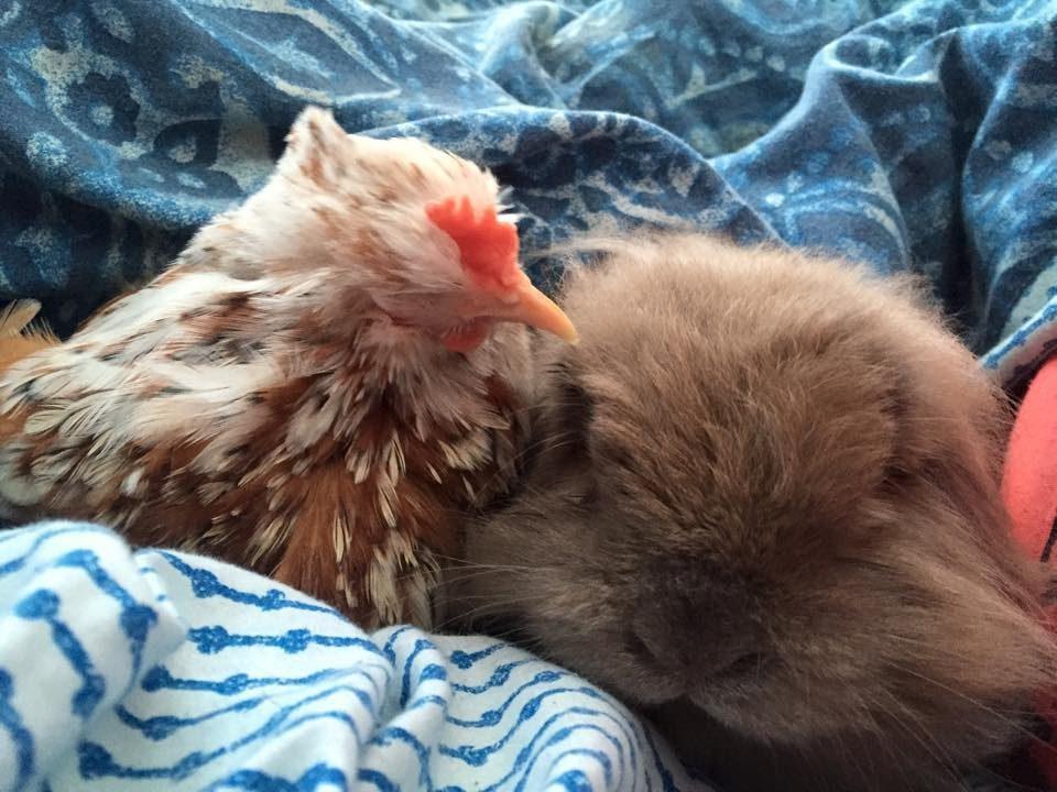blind chicken cuddles with animals