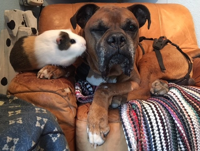 dog and guinea pig best friends