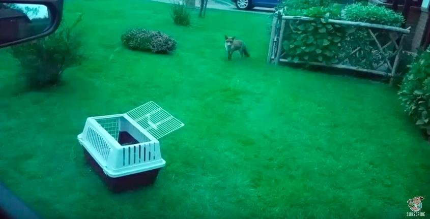 fox rescued from drain