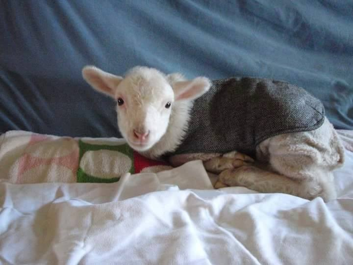 lamb new family