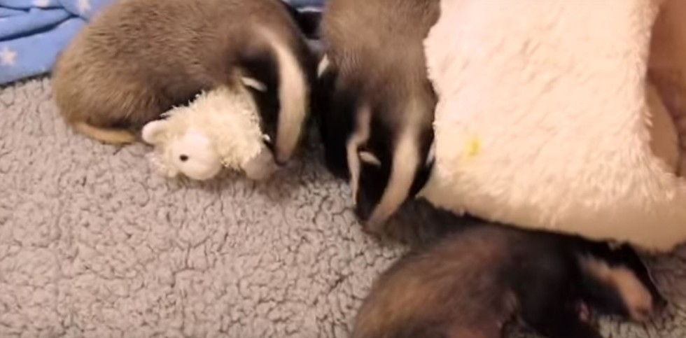 orphaned baby badgers