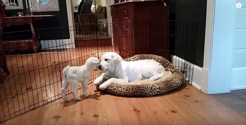 puppy meets baby goat