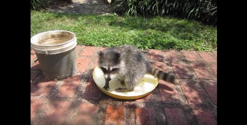 rescued raccoon