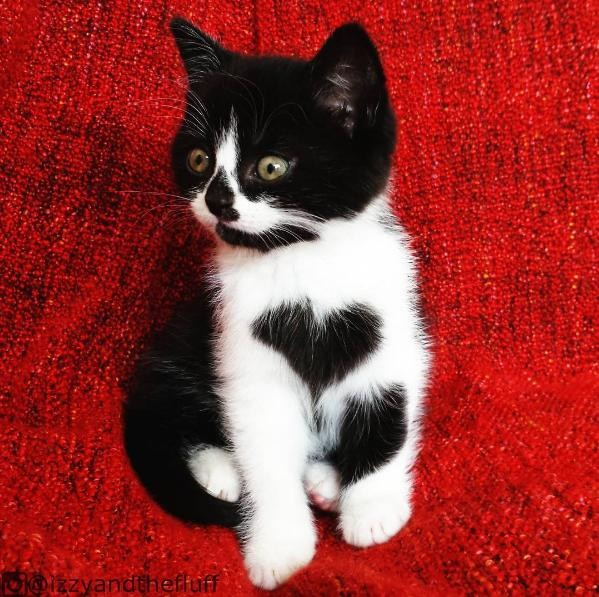 cat heart chest