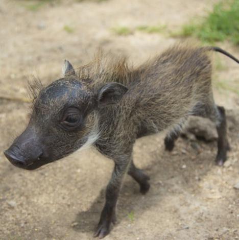 warthog and puppy