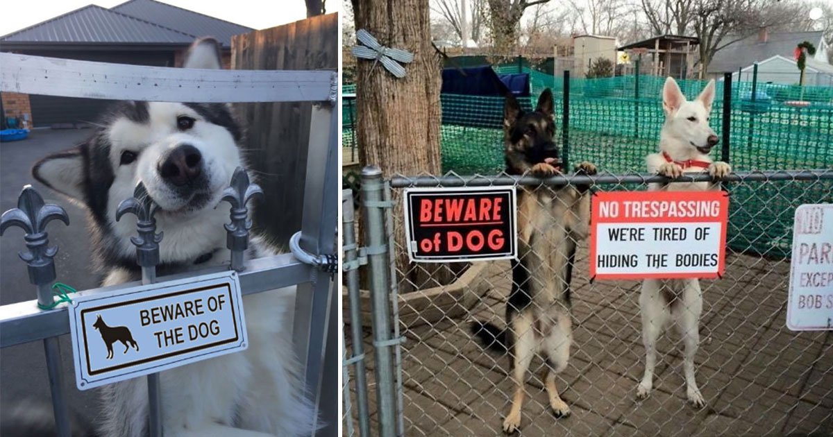 Photos Of Lovable Guard Dogs Who Aren T Quite Doing The