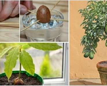 grow avocado tree