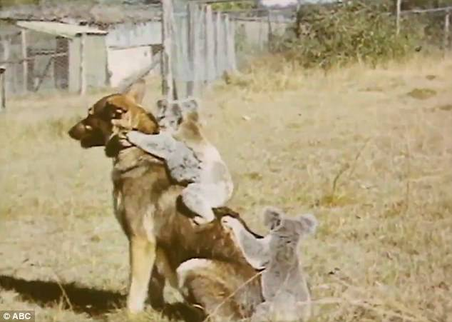 Koalas ride german shepherd