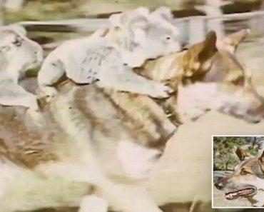 Koalas ride german shepherd