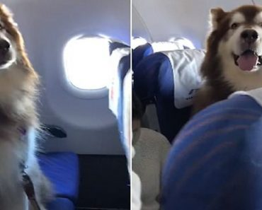 Alaskan Malamute on china flight